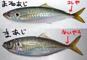 Maajimaruaji_2